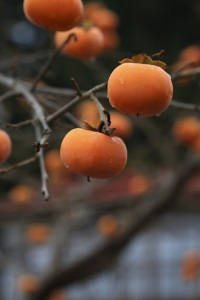 No-one's picking persimmons in Iitate this year. (photo by Hiro Ugaya)